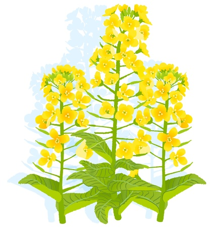 mustard field: Illustration of rapaseed flowers with on white background