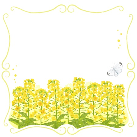 oilseed rape: Stem frame with canola flowers and a white butterfly  File contains Clipping mask and Transparency