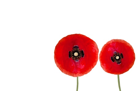 corn flower: Red two poppy flowers isolated on a white background Stock Photo