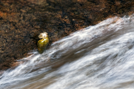 runnel: The snail climbing a rock in the mountain stream