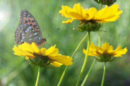 In the garden collecting nectar from the butterfly and three yellow cosmoses photo