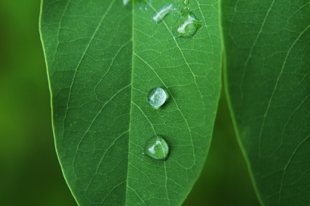 The close-up shot of Water droplets on the green leaf  photo