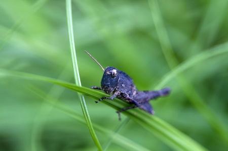 Grasshopper on the green leaf  against close up shot
