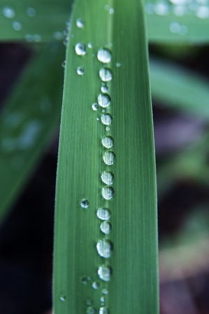 Rain drops standing in a single line on the leaf of reed