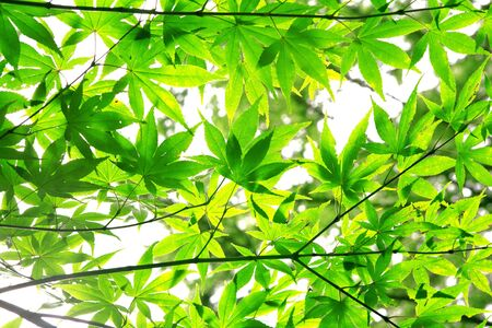Fresh maple leaves in a forest photo