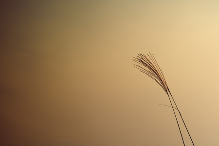 Autumn reed with sunset photo