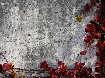 The ivy bound background with grunge effect include copy space Stock Photo - 23476557