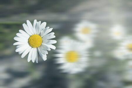 White daisy flower in a garden 写真素材
