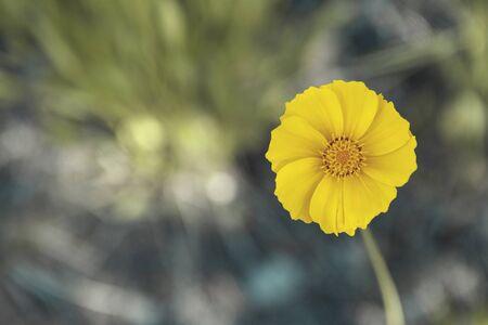 Yellow daisy flower in a garden