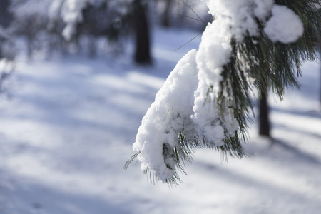 After snow, the snow piled up on the pine tree branches and the sky is shining brightly and clear.