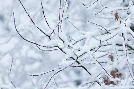 Large snowflakes are falling on the tree branches and snow is piled up the tree branches.