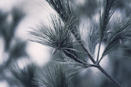 Pine tree branches puting out a pine cones with pine neddles and apply the vintage effect