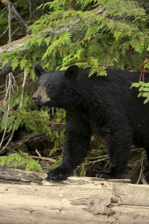 oso negro: Salvaje Oso Negro.