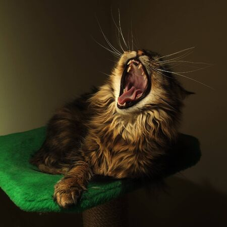 coon: Black tabby maine coon cat yawn Stock Photo