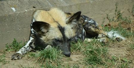Hyena in czech