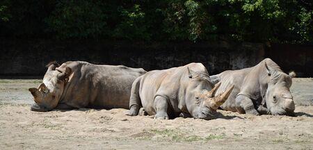 Rhinos in czech  photo