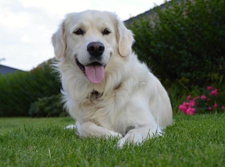 Labrador at home gardeen in summer Stock Photo
