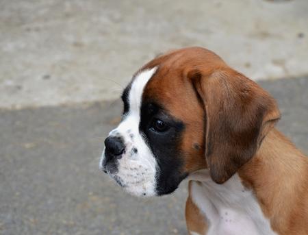 Pet boxer Stock Photo