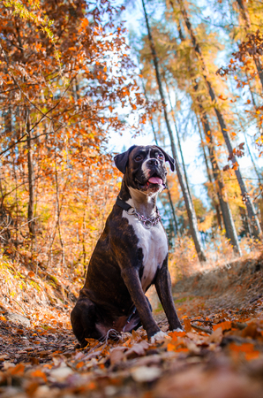 Dog boxer in colorful autumn leaves.