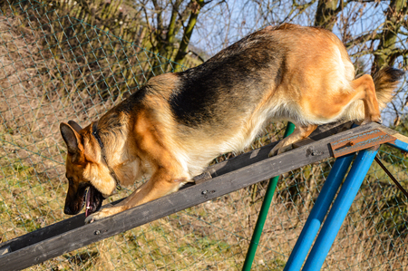 A German shepherd in a training course to rescue people. Stock Photo