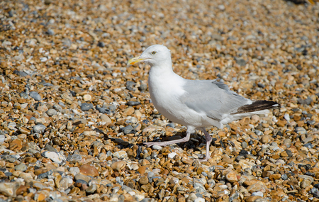 Gull on a stony beach on the English coast. Stock Photo