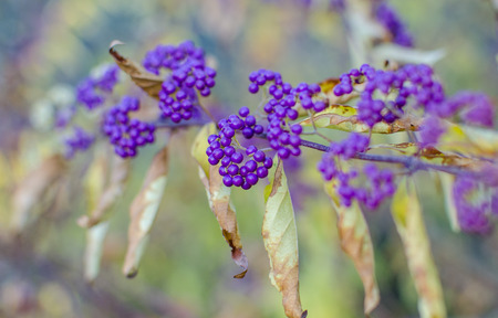 Detalhe de bagas violetas em arbustos, a área é devidamente desfocada. Imagens