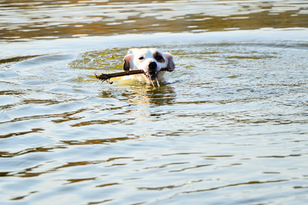 White jrt dog playing in water. Фото со стока