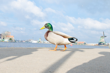 Walking duck at windmill in Holland. Stockfoto
