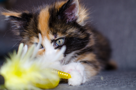 Small color kitten playing with toy.