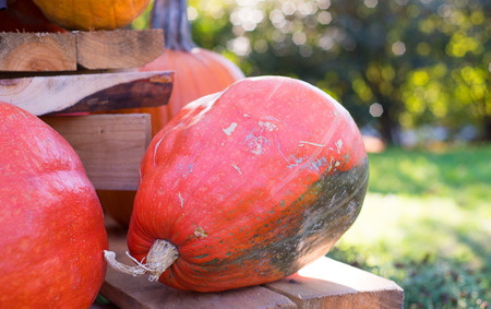 Different pumpkins as a symbol of autumn and hellowen.