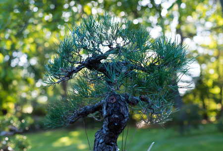 Japanese bonsai in a Japanese garden with a shining sun. Stockfoto