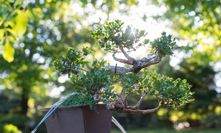 Japanese bonsai in a Japanese garden with a shining sun. Фото со стока