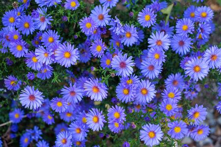 Many violet autumn flowers on one image Фото со стока