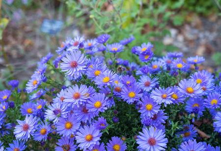 Many violet autumn flowers on one image Stockfoto