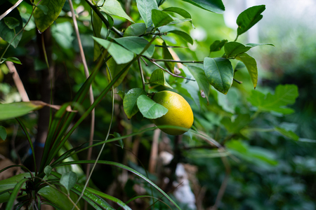 Ripening lemon on the bushes in a large greenhouse.