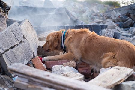 Chien à la recherche de blessés dans les ruines après le tremblement de terre.