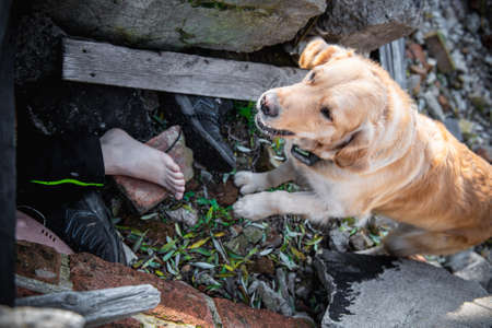Dog looking for injured people in ruins after earthquake .