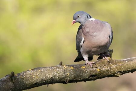 Common wood pigeon (Columba palumbus), large species of dove sitting on mossy branch. Green diffused background with evening light. Bird with red beak, pink chest and with gray head and back.