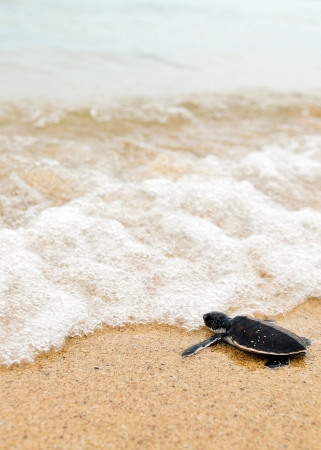 baby turtle: Little turtle go oceans Stock Photo