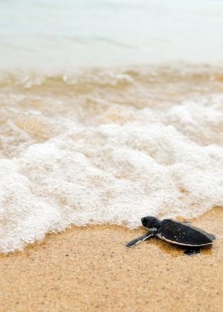 Piccola tartaruga oceani go Archivio Fotografico