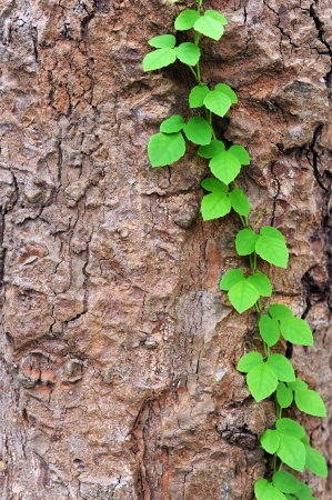 Vine creeps along tree in new growth photo