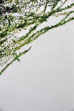 The Green Creeper Plant on a White Wall photo