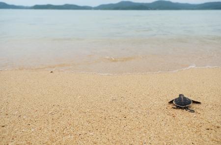 turtle: Little turtle go oceans Stock Photo