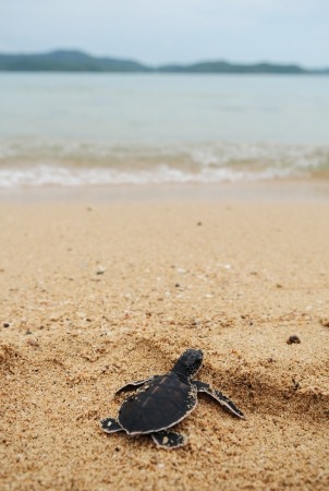Little turtle go oceans Reklamní fotografie
