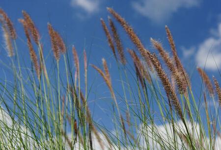 the sky clear: Hierba floreciente y cielo despejado