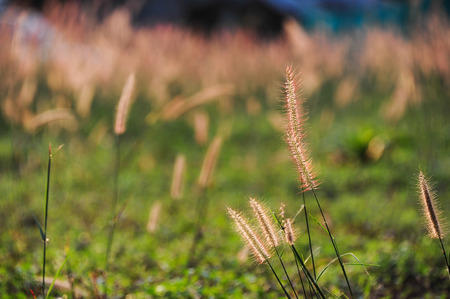 Poaceae or true grass photo