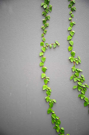The Green Creeper Plant on a Grey Wall photo