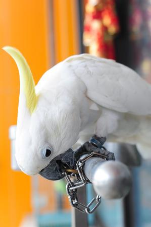 unchain: White parrot  Cacatua galerita  trying to unchain Stock Photo