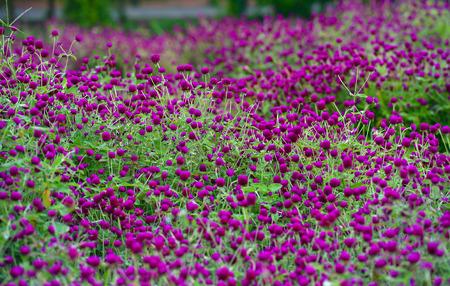 globe amaranth Flower photo