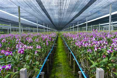 orchid house: Background of plentiful orchid farm